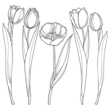 Vector Set With Outline Tulips Flowers Isolated On White. Template With Ornate Floral Elements For Spring Design, Greeting Card, Invitation Or Coloring Book. Tulip Flower In Contour Style.