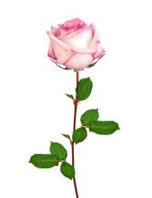 Beautiful Single Pink Rose Isolated On White