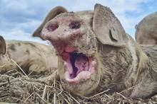 Organic Free Range Pigs Close Up Yawn