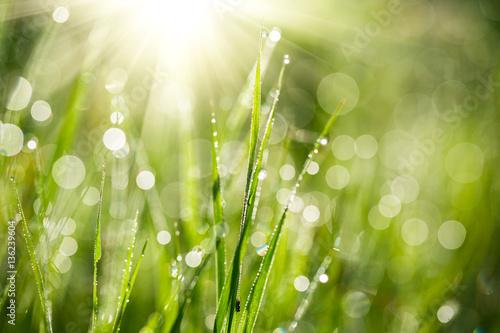 Fototapeta premium Świeża zielona trawa z wodą spada na tle promieni słonecznych. Nieostrość
