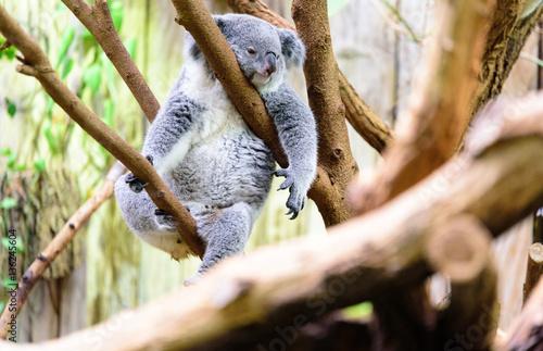 Garden Poster Koala Relaxed Koala on a tree