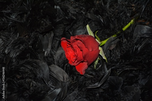 soczysta-czerwona-roza-na-czarnych-piorach