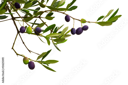 Tuinposter Olijfboom Branch of olive tree with fruits and leaves isolated on white background. Can be used as a design element for postcards and packages