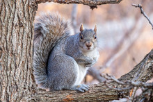 Gray Squirrel Sitting In A Tree