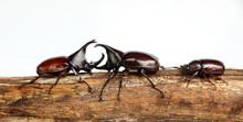 Thai Rhinoceros Beetle On The Wood, White Background