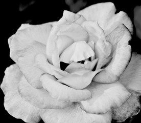 Fototapeta Czarno-Biały blur soft Monochrome Rose beautiful for Valentines Day background.