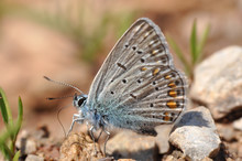 Common Blue Or Polyommatus Icarus, Small Blue Butterfly