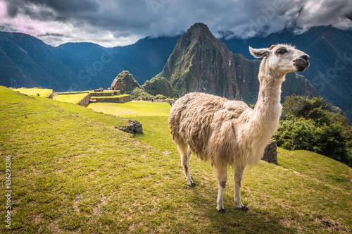 Llama in Machu Pichu Canvas Print