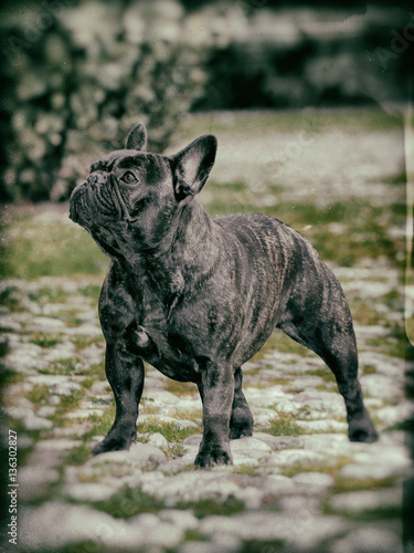 French bouledogue dog.
