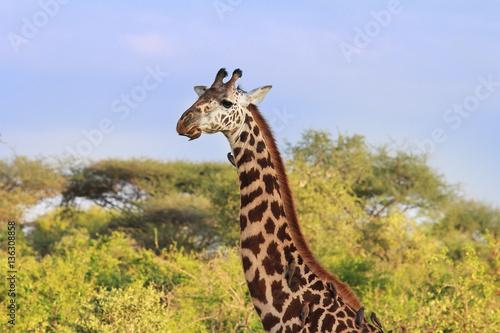 Photo  Free Giraffe in Kenya