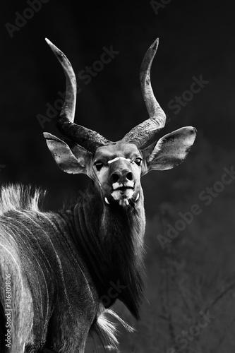Foto op Plexiglas Zebra Nyala bull staring into my camera with pride at close range transformed into a monochrome image. Tragelaphus angasii