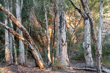 Paperbark Trees In Evening Atmosphere At Butterfly Springs, Limmen NP, NT