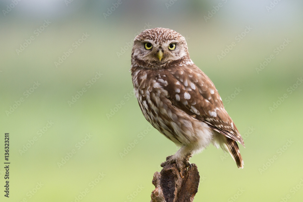 Little owl on tree