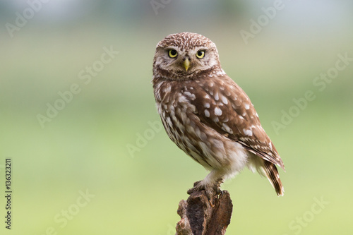 Spoed Fotobehang Uil Little owl on tree