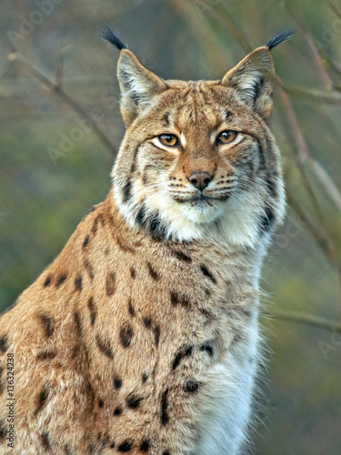 Portrait of beautiful Eurasian Lynx Cat.