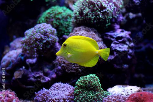 Fotografie, Tablou  Zebrasoma Yellow Tang