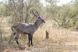 Fototapeta Sawanna - male waterbuck standing in the middle of the bush in the bush sa
