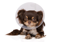 Chihuahua Dog In A Cone On White