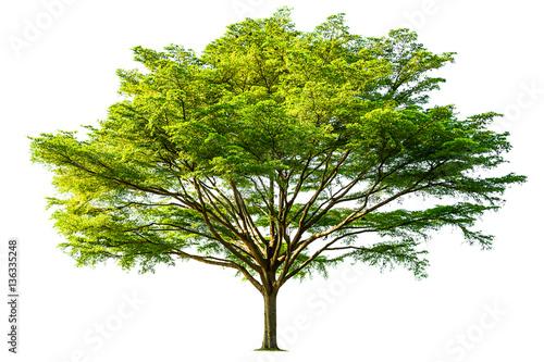 Fotografia, Obraz  tree isolated on white background