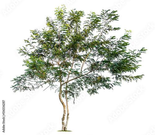 Fototapeta tree isolated obraz na płótnie