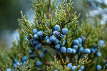 Bunch Of Juniper Berries In Au...