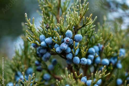 Fototapeta Bunch of juniper berries in autumn obraz