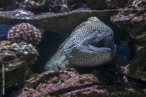 Fotografie, Obraz  Moreia dentro de um aquarium