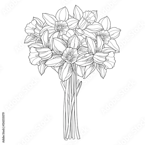 Fotografie, Obraz Vector bouquet with outline narcissus or daffodil flowers in black isolated on white