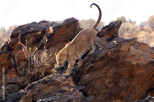 Zdjęcie XXL Piękny lampart w Namibia