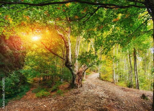 lesna-droga-z-duzym-drzewem-i-przebijajace-sie-slonce