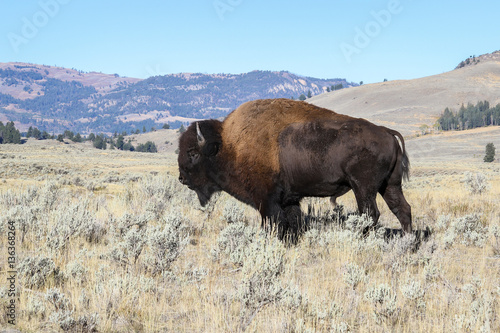Tuinposter Buffel Bison (buffalo) at Lamar Valley, Yellowstone National Park