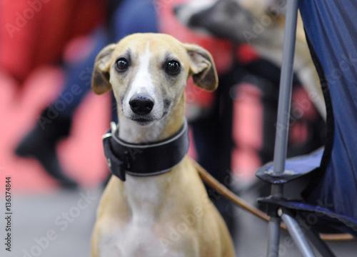 Fotografie, Obraz  Italian Greyhound at dog show, Moscow.