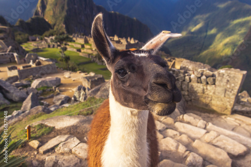 Foto op Canvas Lama Llama close-up portrait in Machu Picchu, Peru.