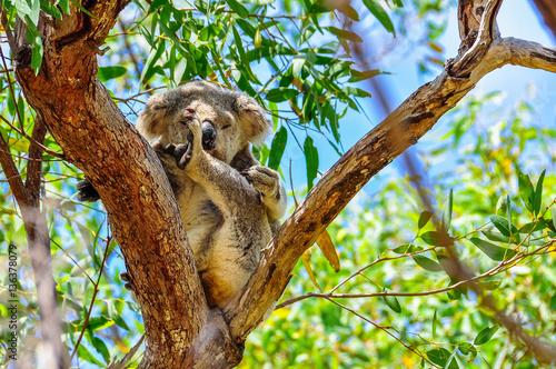 Garden Poster Koala Sleepy koala in Magnetic Island, Australia