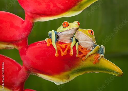Two Red-Eyed Tree Frog Resting on a Heliconia Flower Wallpaper Mural