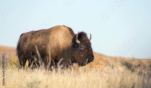Staande foto Buffel Wild buffalo