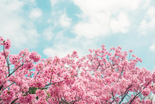 Beautiful Cherry Blossom Sakur...
