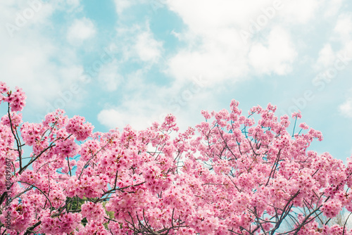 Foto Beautiful cherry blossom sakura in spring time over blue sky.