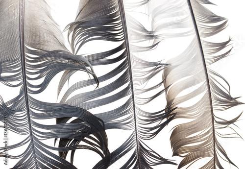 Foto-Kuscheldecke premium - black and white feather on a white background (von studybos)