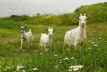 Green Living Three Naïve Goat Kids In The Grass.