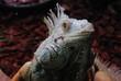 Leguan-Reptilien