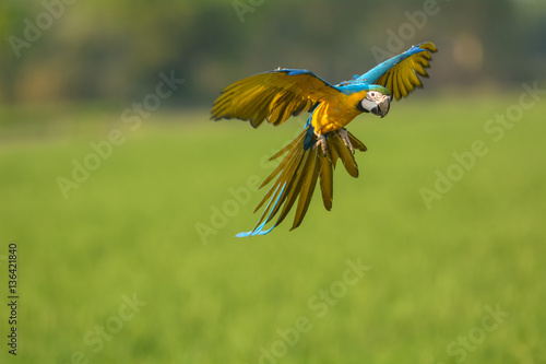 Photo sur Toile Perroquets flying macaw, beautiful bird