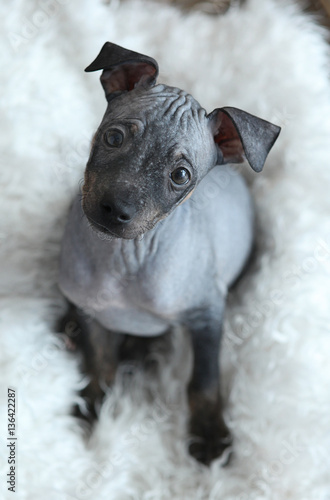 the puppy of American hairless Terrier Fototapet