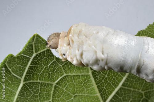 Fotografía  Gusano de seda comiendo hoja de morera.