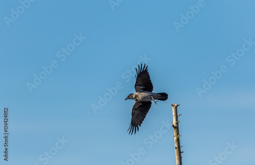 Fotografía  hooded crow with wings spread taking off from its post