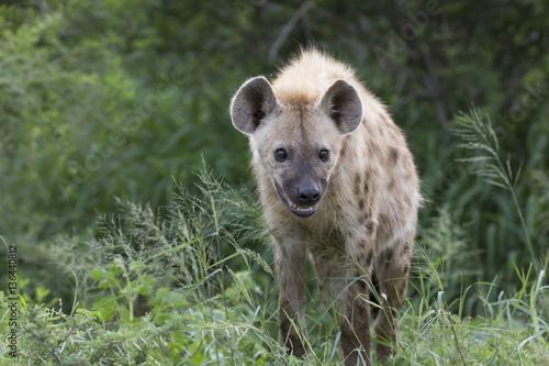 In de dag Hyena Portrait of free roaming african spotted hyena