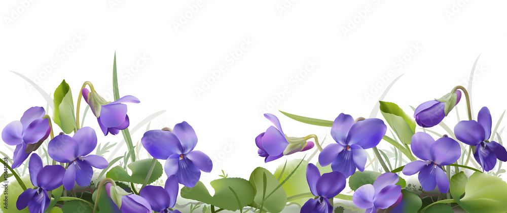 Fototapety, obrazy: Viola odorata. Sweet violets on transparent background - hand drawn vector illustration in realistic style.