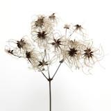 sucha roślina monochromatyczna suszek na białym tle o wysokim konkraście - 136452833