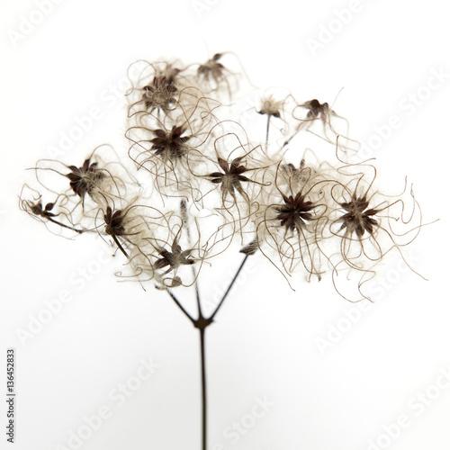 Fototapeta na wymiar suszek w kolorze sepii na białym tle