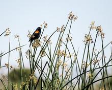 Red-winged Blackbird (Agelaius...